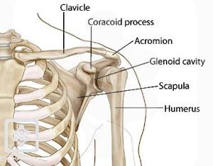 shoulderbones3
